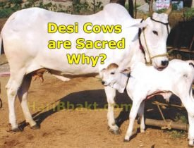 Indian Cow Facts and Information: Benefits of Desi Cow Hindu Science