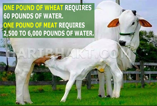 Indian Cow Facts Information