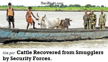 Cattle smuggling is big and violent business on India-Bangladesh border