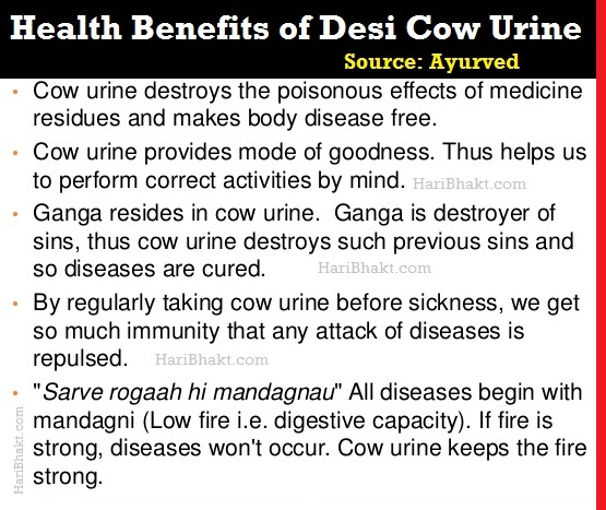 Healthy Benefits of Drinking Desi Indian Cow Urine