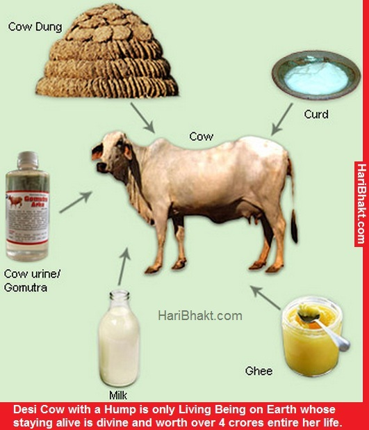 Germicidal property is also one of the reason that Gau mutra was used as a holy content on each and every occasion. Milk, Ghee and Gobar are other offerings of Desi Cow