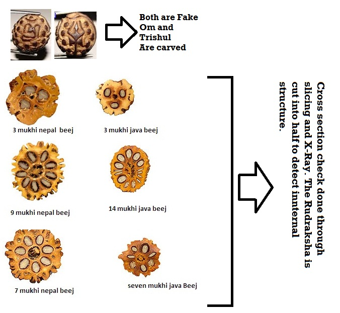 Internal Structure of Rudraksha