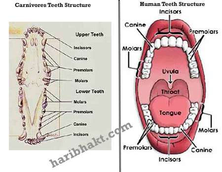 Human and Animal teeth Comparison