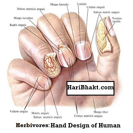 Human hand, nails and claw structure
