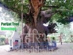 Longest Living Immortal Trees of Heaven Still Exists on Earth!