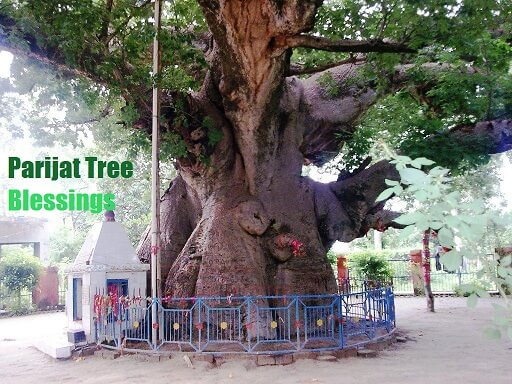 parijaat tree blessings